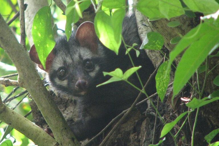Updating spatial information of 27 mammal species in Nepal
