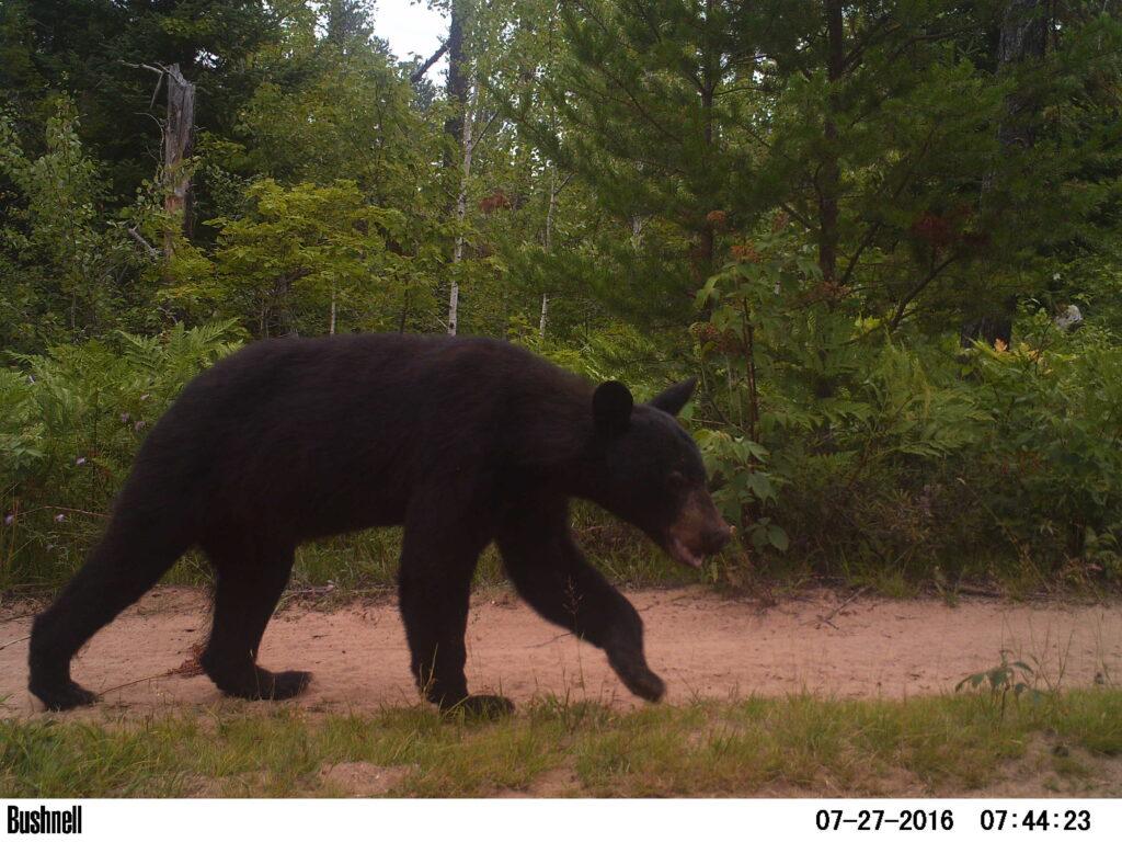 Camera trap photo of a bear