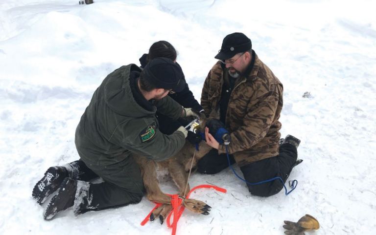 Dickinson deer fitted with GPS collars