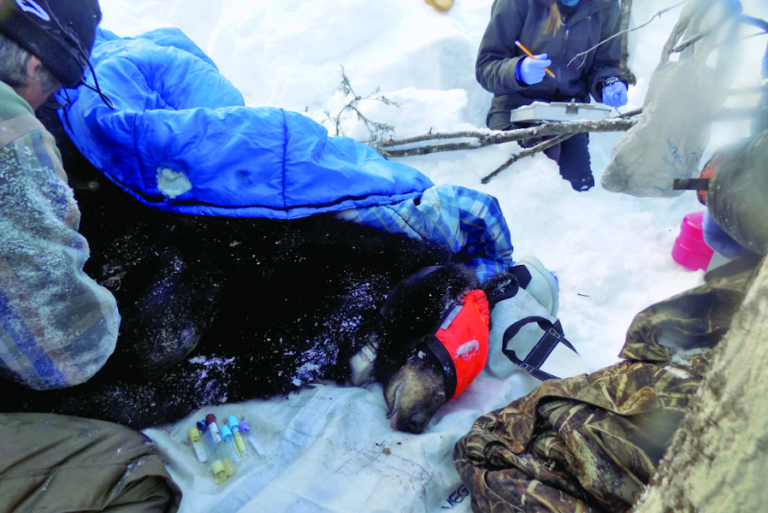 Waking a sleeping giant; Bear den checked as part of predator-prey study
