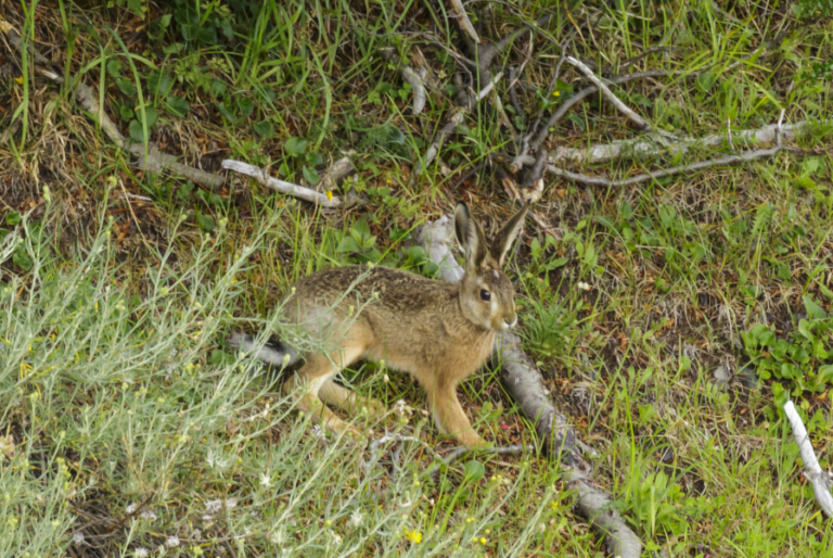 Occurrence of invasive mammals in southern Nahuel Huapi National Park