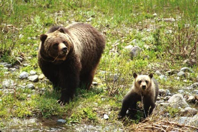 Plasticity in physiological condition of female brown bears across diverse ecosystems
