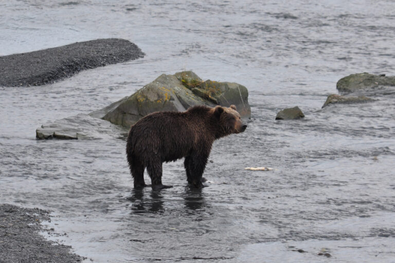 Dietary plasticity and the importance of salmon to brown bear (Ursus arctos) body size and condition in a low Arctic ecosystem