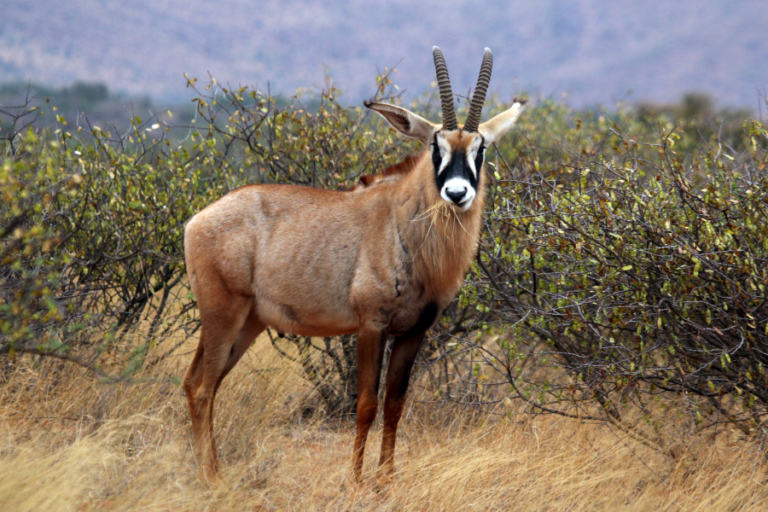 Provisioning of game meat to rural communities as a benefit of sport hunting in Zambia