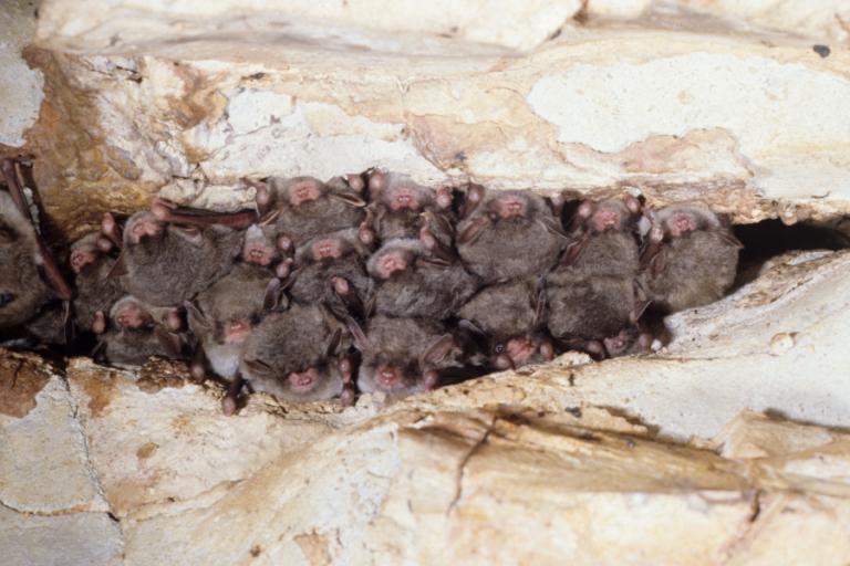 Probability of detection and visual count error for Rafinesque's big-eared bat (Corynorhinus rafinesquii) and southeastern myotis (Myotis austroriparius) in tree cavities