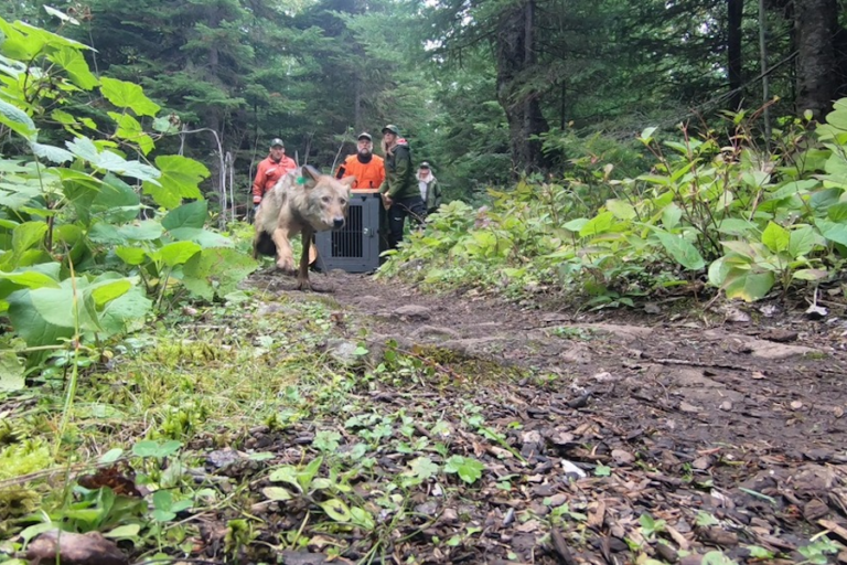 Gray wolves relocated to Isle Royale park find plenty prey to eat
