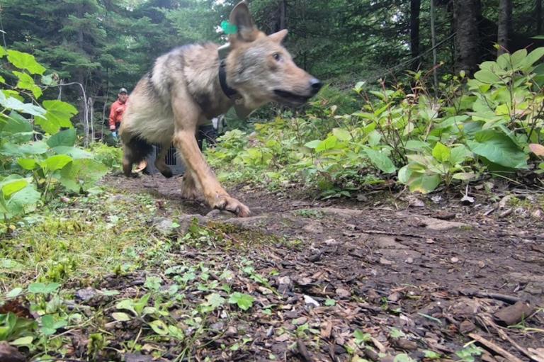 Moose provide Isle Royale wolves plenty of meals