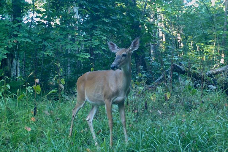 Exploiting antipredator behavior in white‐tailed deer for resource protection