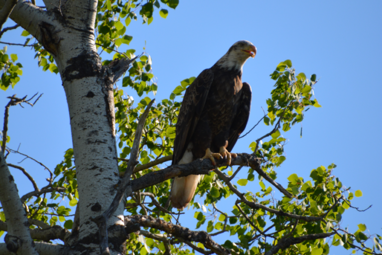 Bald eagle predation of a white-tailed deer fawn
