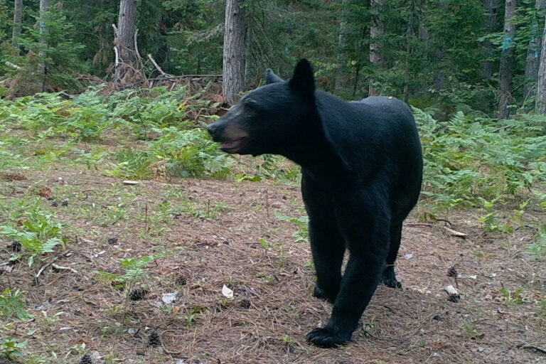 Genetic diversity, effective population size, and structure among black bear populations in the Lower Mississippi Alluvial Valley, USA
