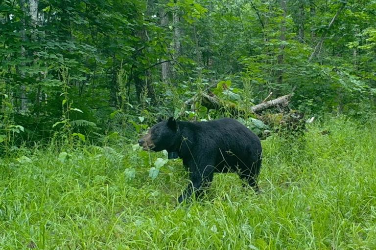 Habitat associations in a recolonizing, low‐density black bear population