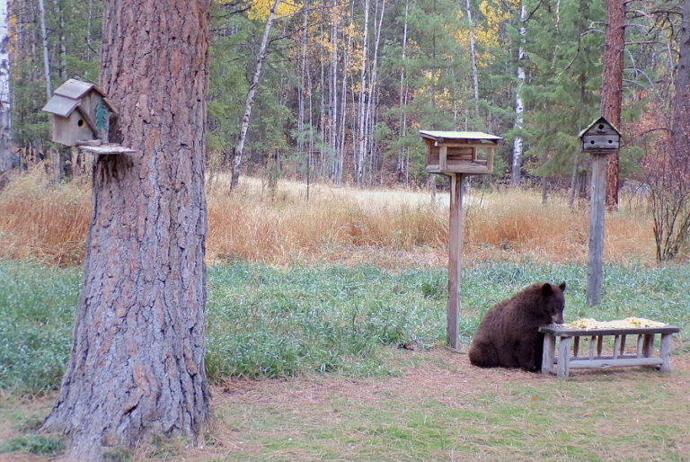 American black bear–apiary conflicts in Michigan