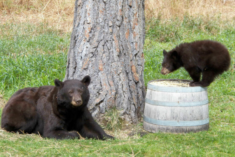 Distribution of American black bear occurrences and human–bear incidents in Missouri