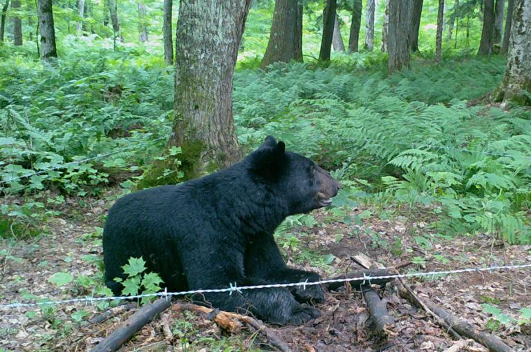 Spatiotemporal factors affecting detection of black bears during noninvasive capture–recapture surveys