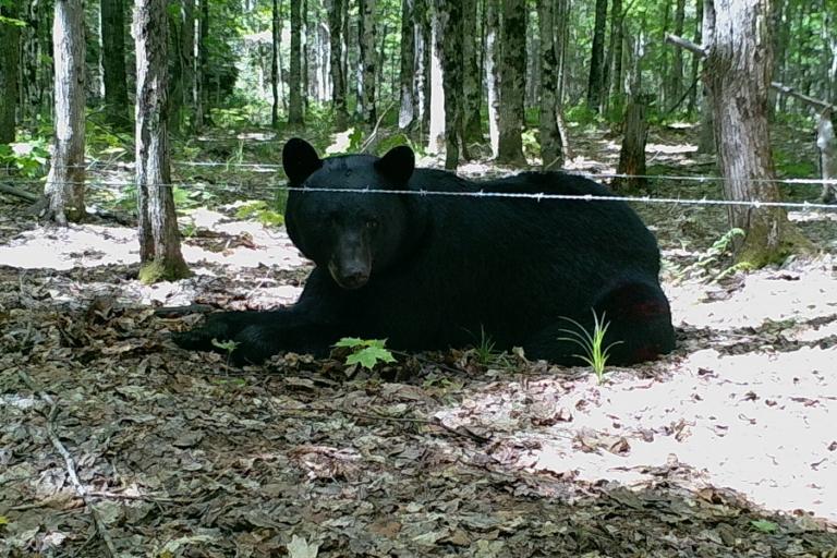 American black bear population abundance and genetic structure on an island archipelago