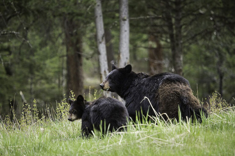 Female American black bears do not alter space use or movements to reduce infanticide risk