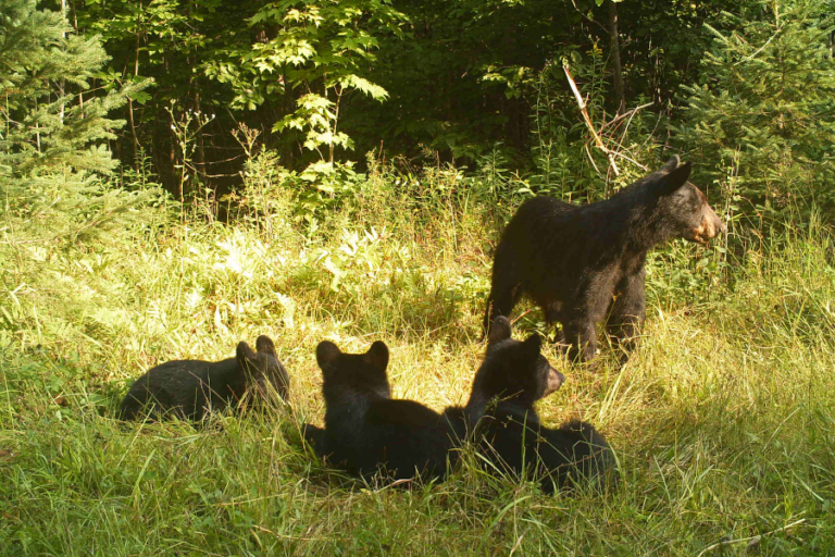 Sexual size dimorphism mediates effects of spatial resource variability on American black bear space use