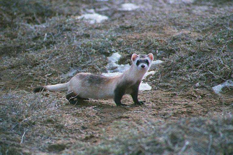 Investigation of factors affecting black-footed ferret litter size