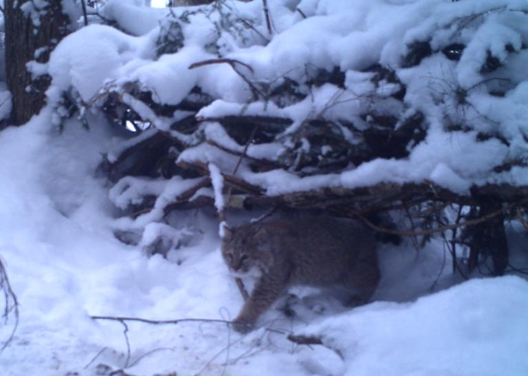 Use of modified snares to estimate bobcat abundance