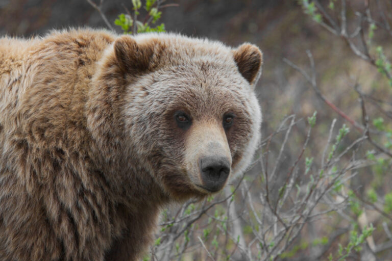 Body size and lean mass of brown bears across and within four diverse ecosystems