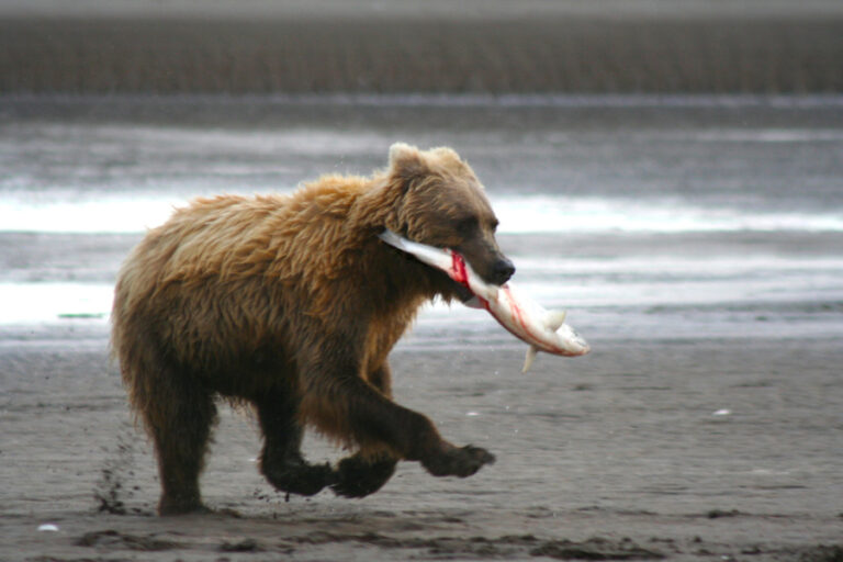 Dietary plasticity in a nutrient-rich system does not influence brown bear (Ursus arctos) body condition or denning