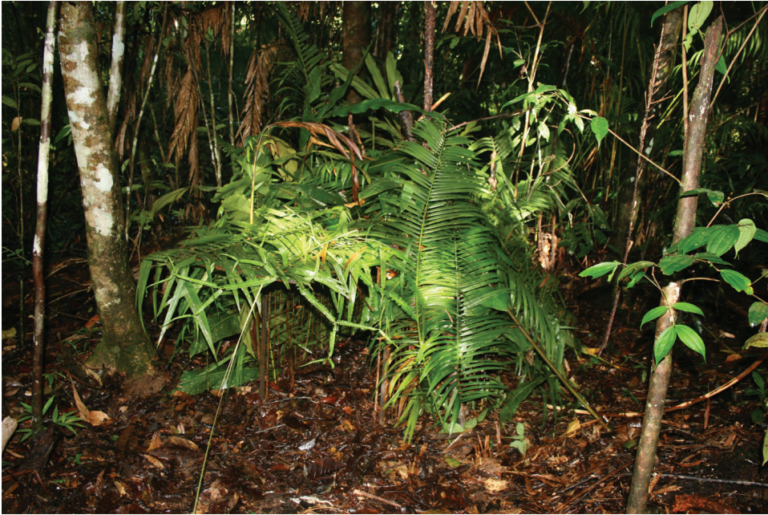 Live trapping carnivores in tropical forests: Tools and techniques to maximise efficacy
