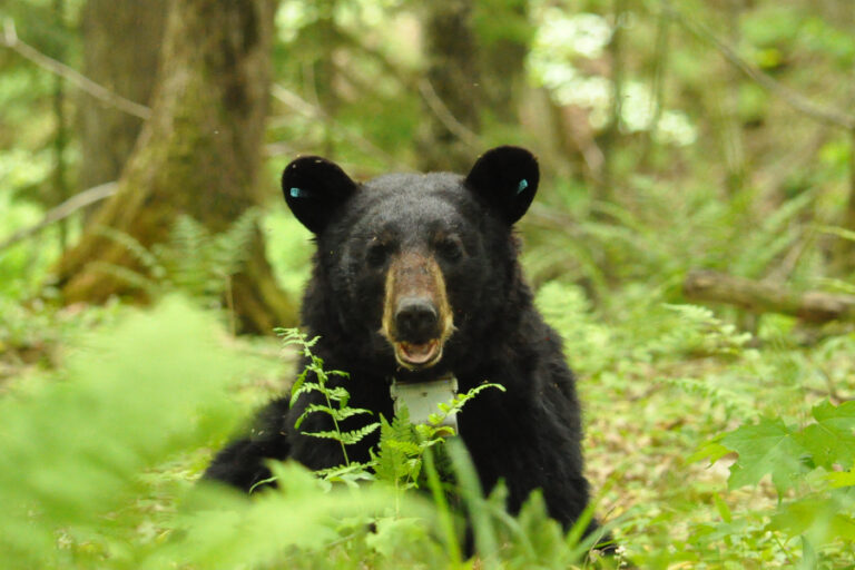 Black bear (Ursus americanus) functional resource selection relative to intraspecific competition and human risk