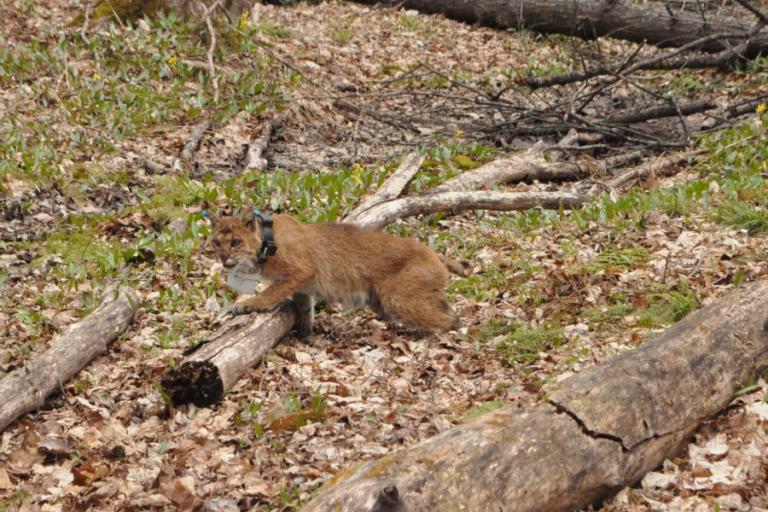 Identifying bobcat Lynx rufus kill sites using a global positioning system