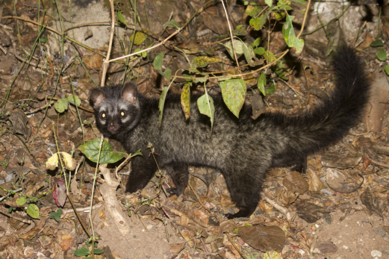 Predicted distribution of the common palm civet Paradoxurus hermaphroditus (Mammalia: Carnivora: Viverridae) on Borneo