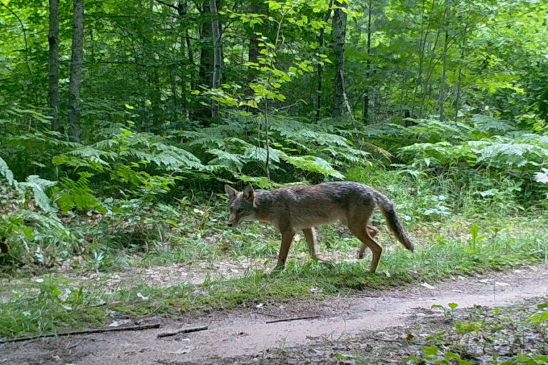 Population‐level response of coyotes to a pulsed resource event