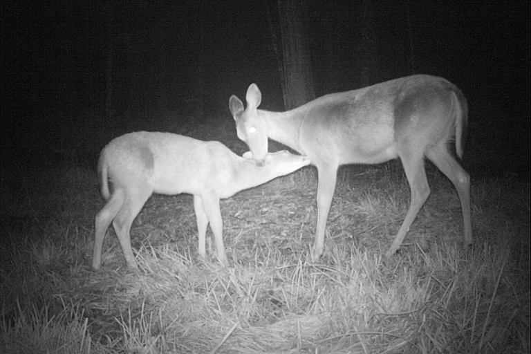 Contrasting the effects of maternal and behavioral characteristics on fawn birth mass in white-tailed deer