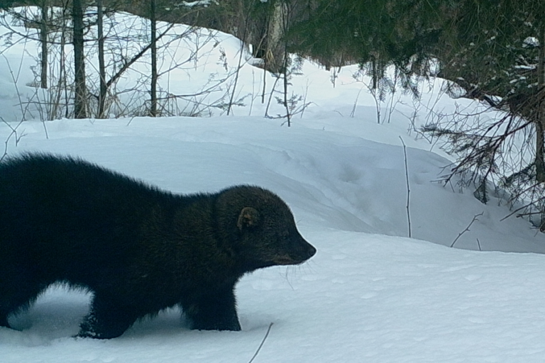 Factors affecting harvests of fishers and American martens in northern Michigan