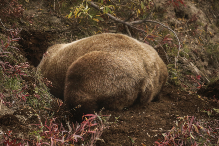 Despotism and risk of infanticide influence grizzly bear den-site selection