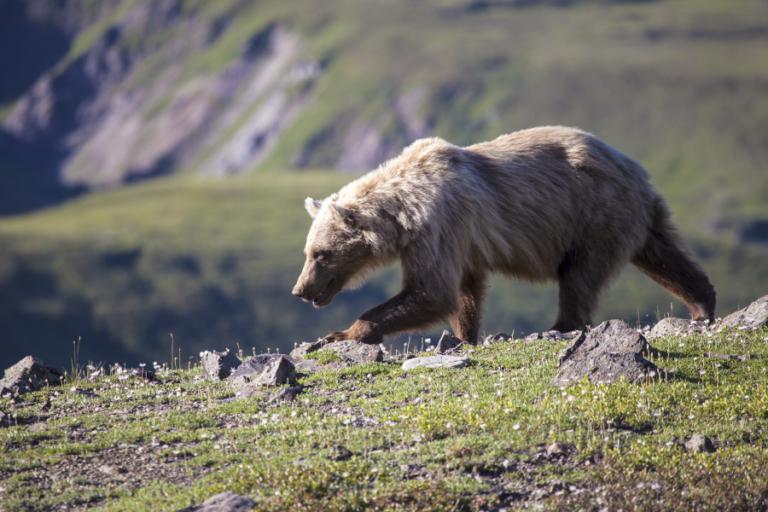 Ecological flexibility of brown bears on Kodiak Island, Alaska