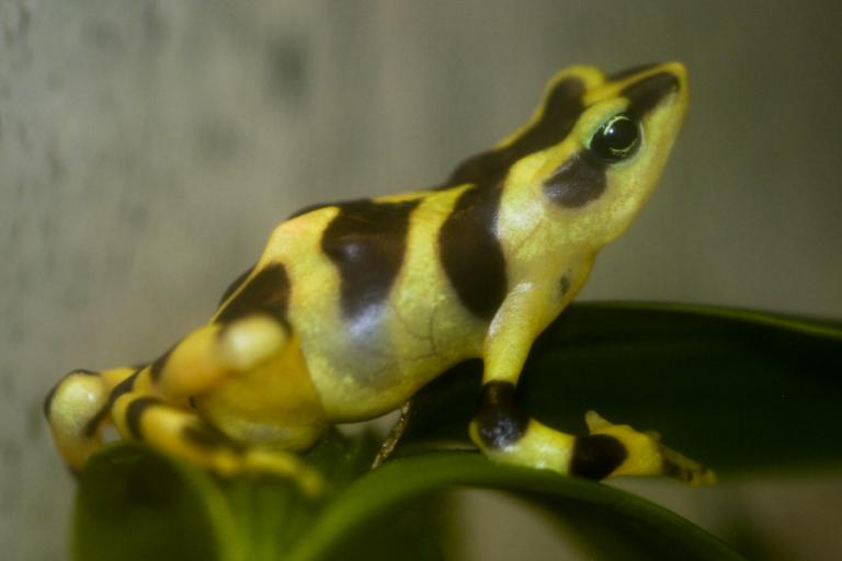 Renewing hope: the rediscovery of Atelopus varius in Costa Rica