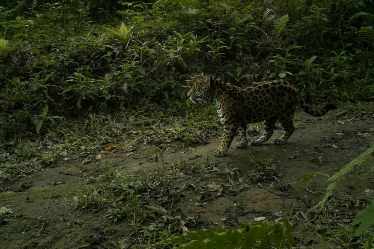 Effectiveness of protected areas for representing species and populations of terrestrial mammals in Costa Rica
