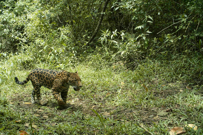 Comparision of methods for detecting and surveying tropical carnivores