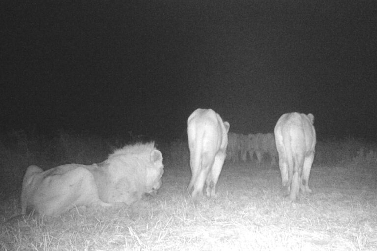 Temporal and spatial variation of broadcasted vocalizations does not reduce lion (Panthera leo) habituation