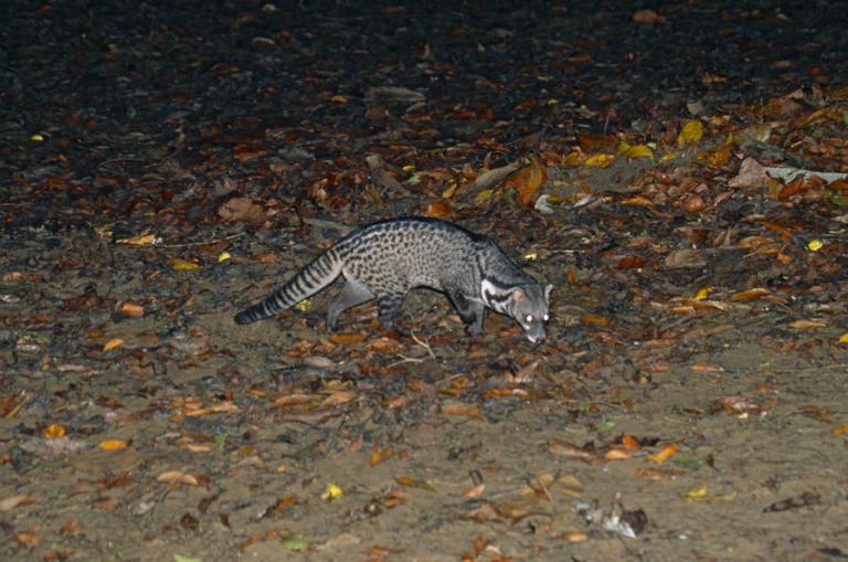 Predicted distribution of the Malay civet Viverra tangalunga (Mammalia: Carnivora: Viverridae) on Borneo