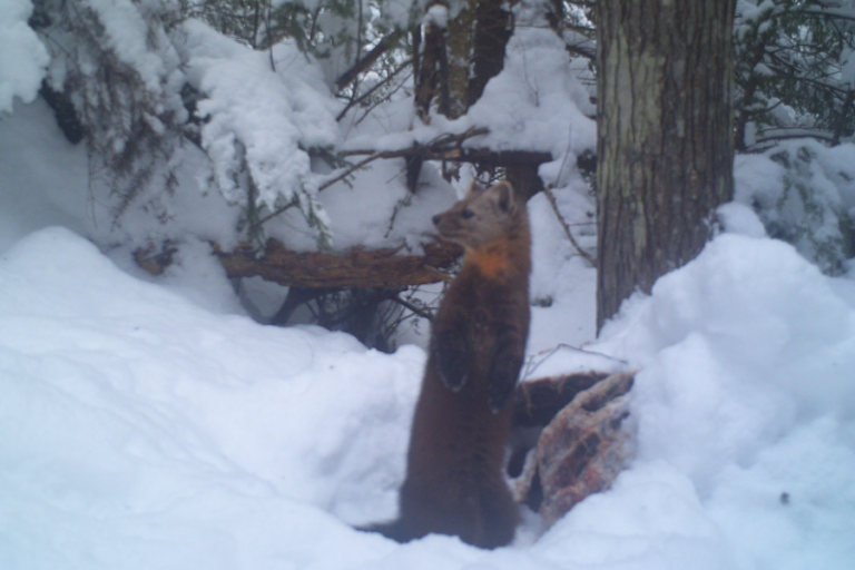 Abundance trends of American martens in Michigan based on statistical population reconstruction