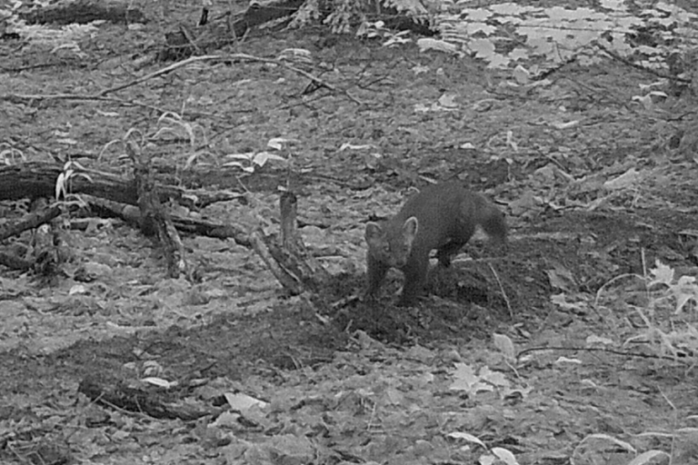 Patterns of endoparasite infections in American martens (Martes americana) of the Upper Peninsula of Michigan, U.S.A
