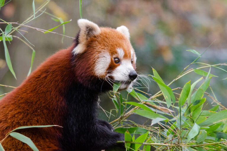Attitudes towards conservation of the Endangered red panda Ailurus fulgens in Nepal: a case study in protected and non-protected areas