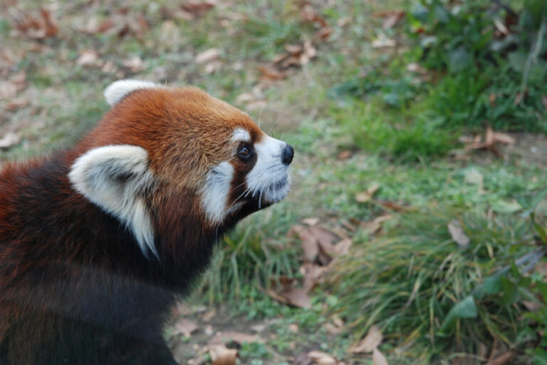 Effects of livestock on occurrence of the vulnerable red panda (Ailurus fulgens) in Rara National Park, Nepal
