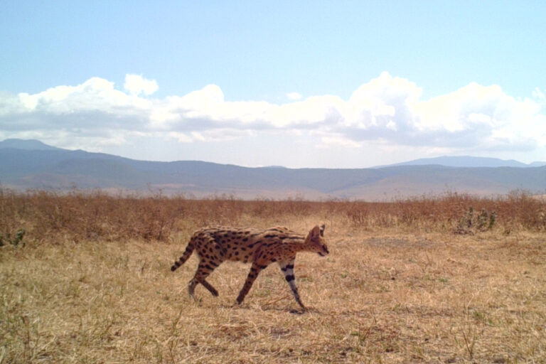Spatial and temporal overlap of caracal and serval in Serengeti National Park, Tanzania