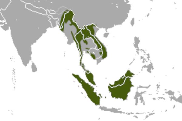 Predicted distribution of small-toothed palm civet Arctogalidia trivirgata (Mammalia: Carnivora: Viverridae) on Borneo