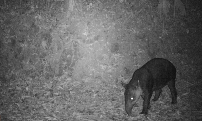 Baird's tapir density in high elevation forests of the Talamanca region of Costa Rica
