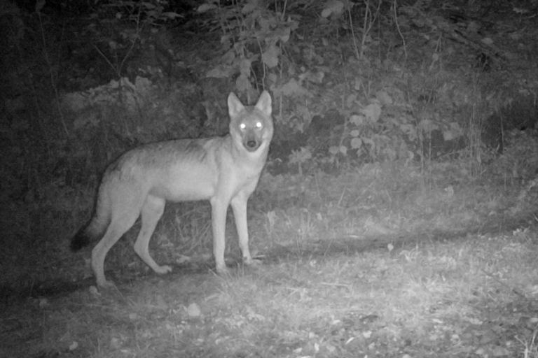 Adapting a predictive spatial model for wolf Canis spp. predation on livestock in the Upper Peninsula, Michigan, USA