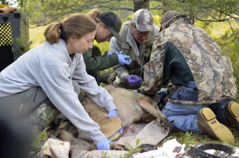 Three wolves released on Isle Royale