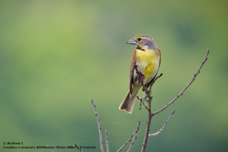 Effects of crop type and harvest on nest survival and productivity of dickcissels in semi-natural grasslands