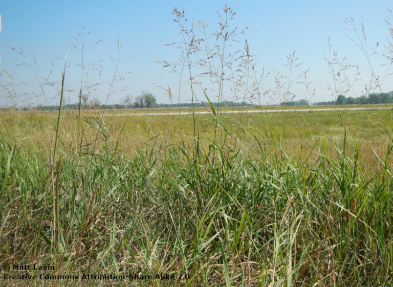 Forage or biofuel: assessing native warm-season grass production among seed mixes and harvest frequencies within a wildlife conservation framework